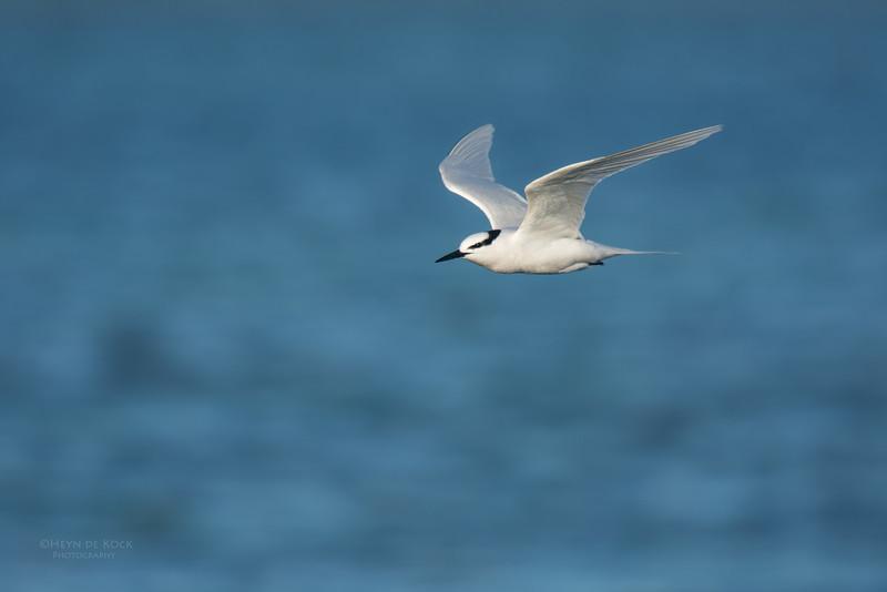 Black-naped Tern, Lady Elliot Island, QLD, Dec 2015-17.jpg