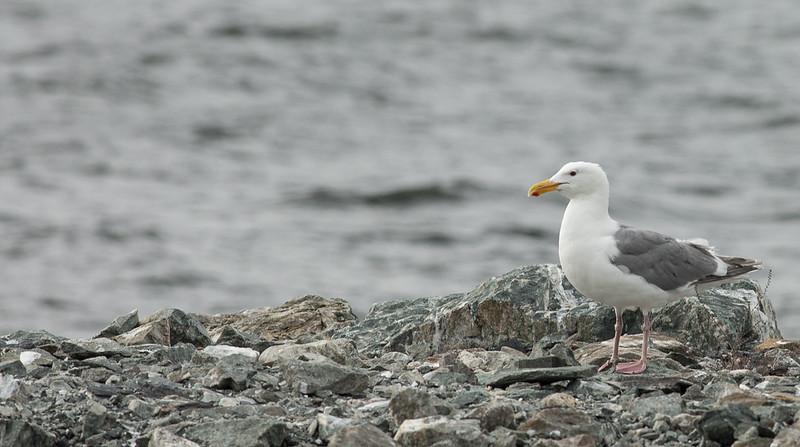 Seagull-1484.jpg