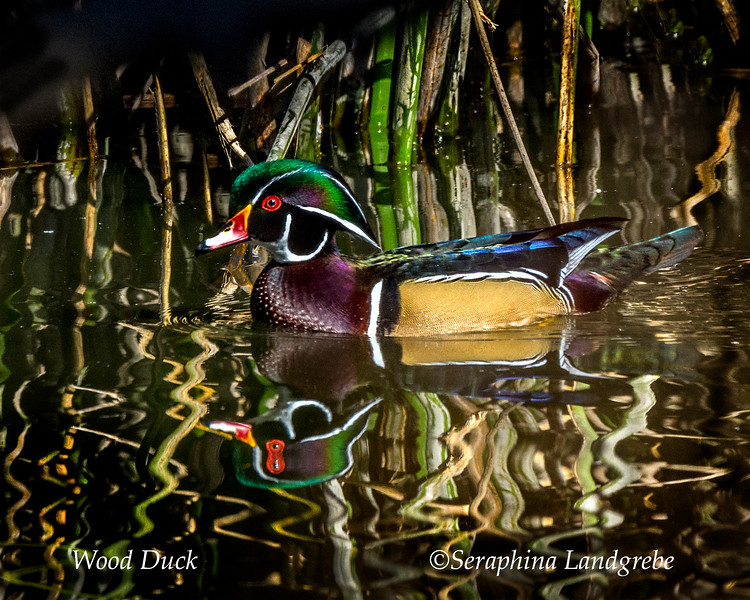_DSC5055Male Wood Duck.jpg