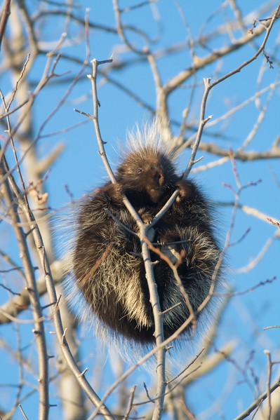 Porcupines relish the bark of several species of trees. This pudgy Porkie clings to tiny branches of a Quaking Aspen [January; Carlton County, MInnesota]