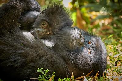 Gorillas Collezioni