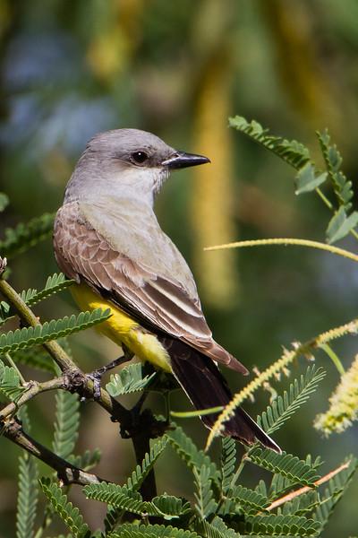 Western Kingbird - Aguas Calientes Park - Tucson, AZ, USA