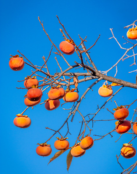 Persimmon Tree, Campbell, California, 2009