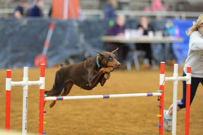 Irish Setter/GSNEC AKC Agility Trial November 11-13
