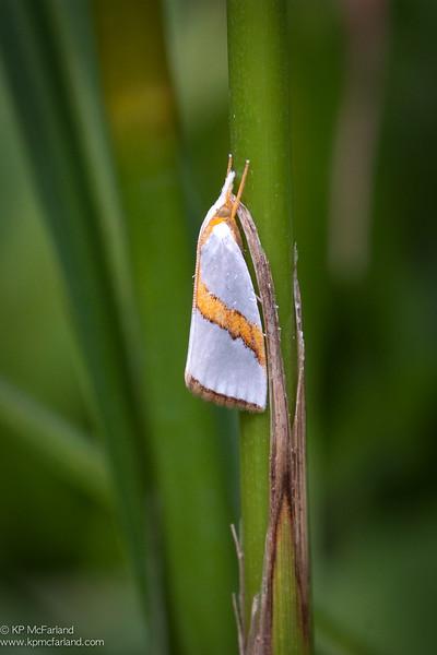 Straight-lined Argyria Moth (Argyria critica)