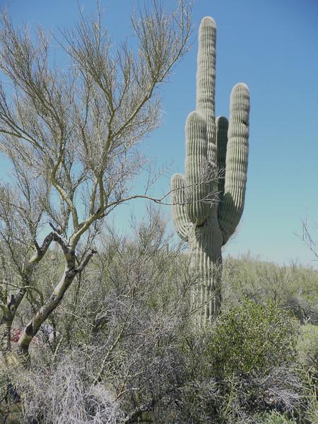 Cactaceae Arizona