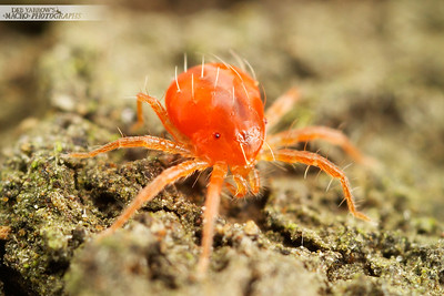 Mites and Other Arachnids