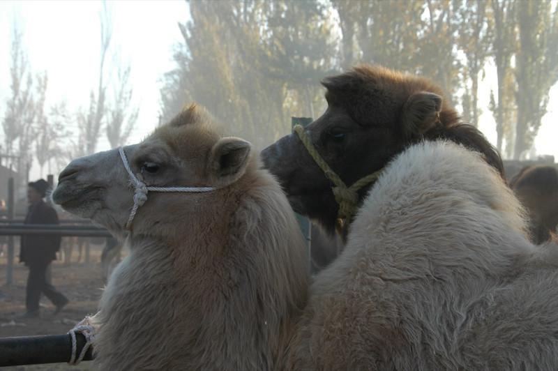 Kashgar Animal Market: Camels - China