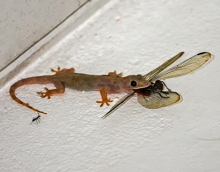 "Gecko ""taking wing"""