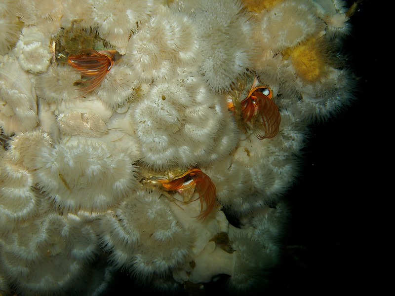 Beautiful barnacles peeking out from the Metridium on an offshore platform leg.