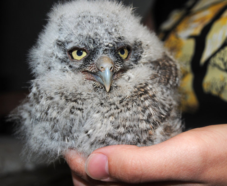 . One of nine baby great horned owls whose nests were destroyed and are being raised by veterinarians at the school is seen Monday, April 23, 2012, in Pullman, Wash. The babies, five from one nest and four from another, are being hand-fed cut-up mice soaked in water until they are strong enough to eat on their own. The first four were brought to the university April 13 at roughly one week old. Just four days later, the second group arrived at only a few days old. (AP Photo/Washington State University, Linda Weiford)