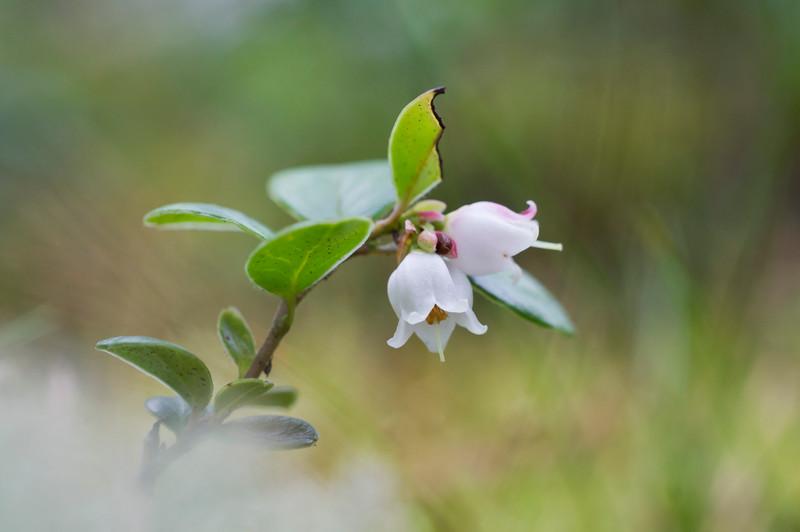 Lingon berry Flower