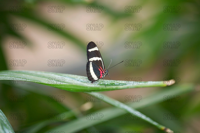 Hewitson's Longwing; Longwing Zebra Butterfly; Smiling Longwing (Heliconius erato).