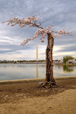 20190329-0404 DC Cherry Blossoms