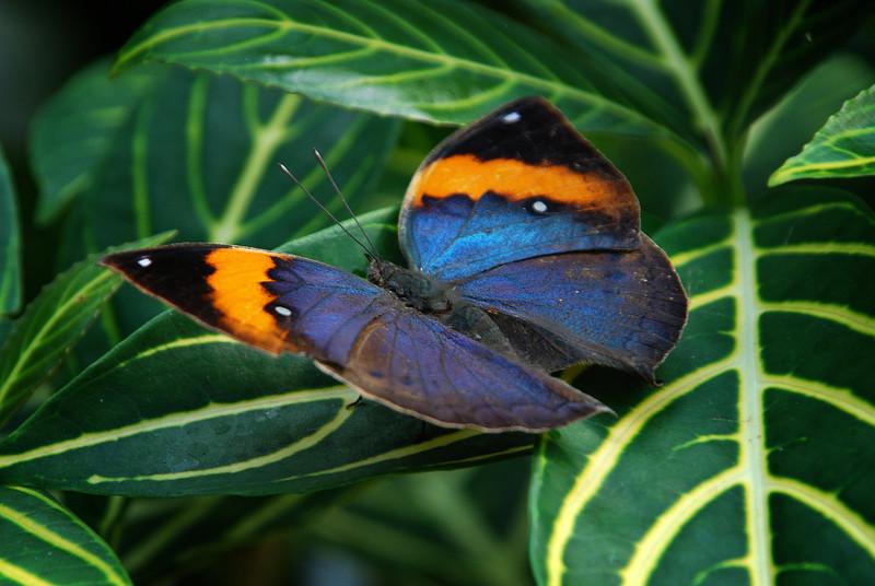 Blue orange butterfly.jpg