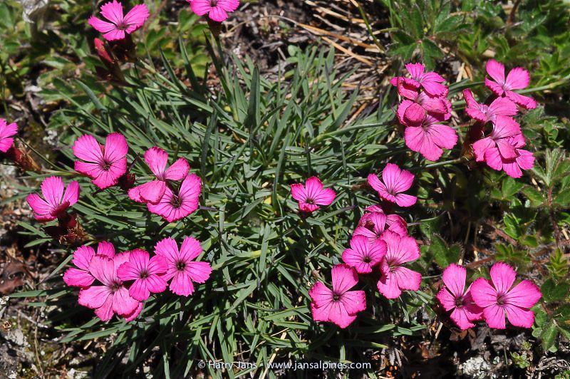 Dianthus carthusianorum var. vaginatus