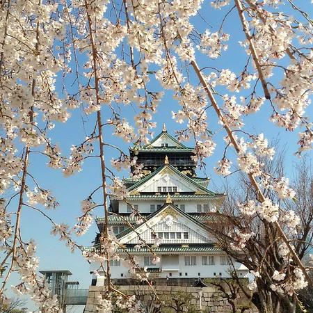 Osaka Castle (Sakura season)