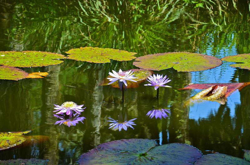 Wterlilies