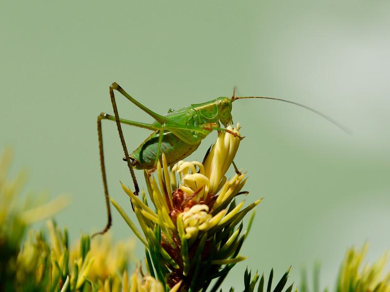 Green-cricket-backyard2016.jpg