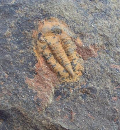 Asaphellus sp.