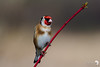 Goldfinch on Red