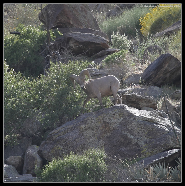 Big Horn Sheep, Anza Borrego Desert State Park, San Diego County, California, April 2010