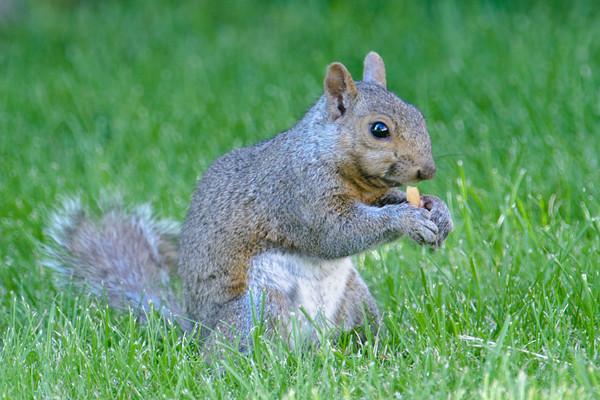 Gray Squirrel - LaPrairie, MN