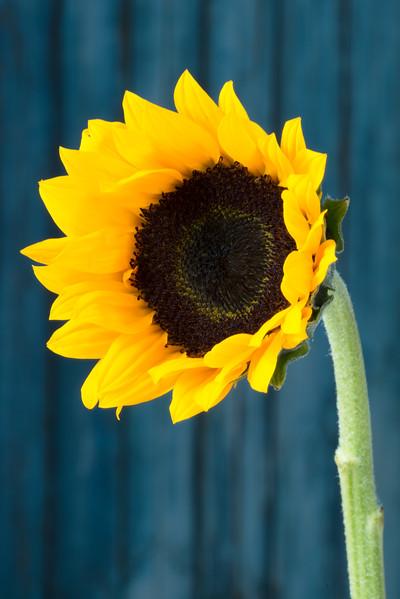 SunflowerAug2017.jpg