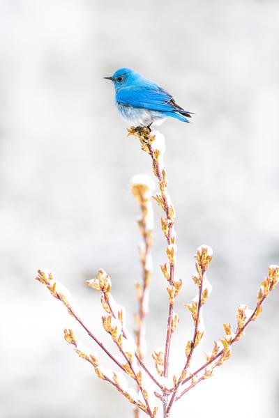 Mountain Bluebird in snow Yellowstone National Park WY DSC04846.jpg