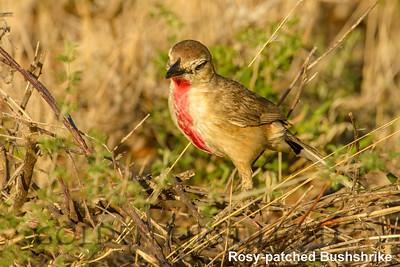 Rosy-patched Bushshrike, Kenya