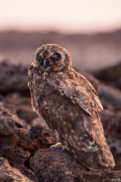 Ecuador, Galápagos, Genovesa: Resting but watchful Short-Eared Owl.