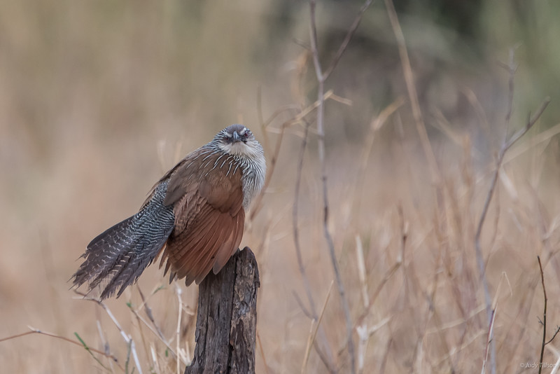 Serengeti National Park white browed coucal-5640.jpg