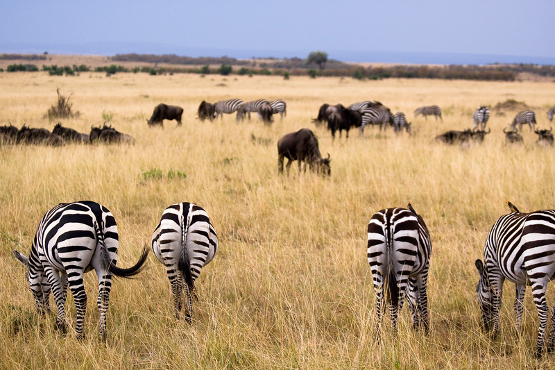 View of backside of four zebra grazing in a field. Photography fine art photo prints print photos photograph photographs image images artwork.