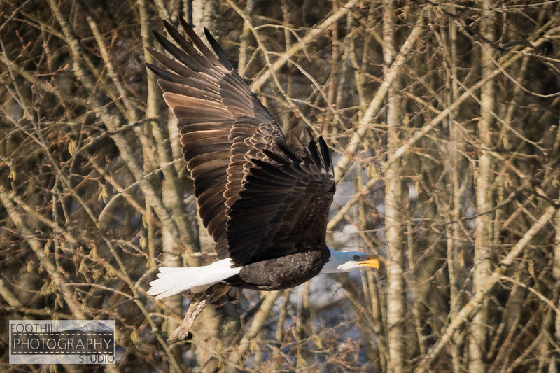 Eagle Sml-11.jpg