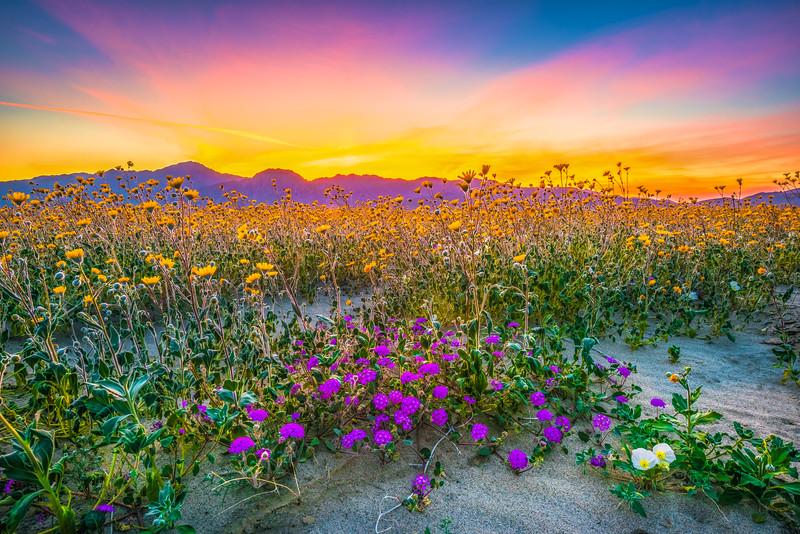 Anza-Borrego Spring Symphony #3: Anza Borrego Desert State Park Wildflowers Superbloom Fine Art Landscape Photos!  Elliot McGucken's Anza-Borrego Desert State Park Wild Flowers Super Bloom Fine Art Landscape Nature Prints & Wall Art