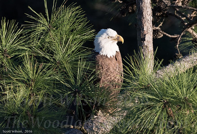 2017-1-25 Bald Eagle Photos