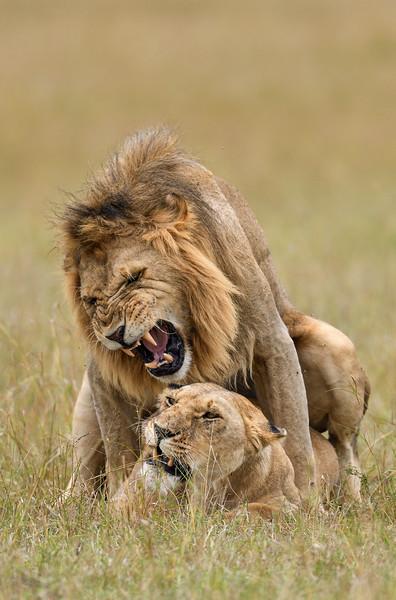Aggressive-love-mating-lions-mara.jpg