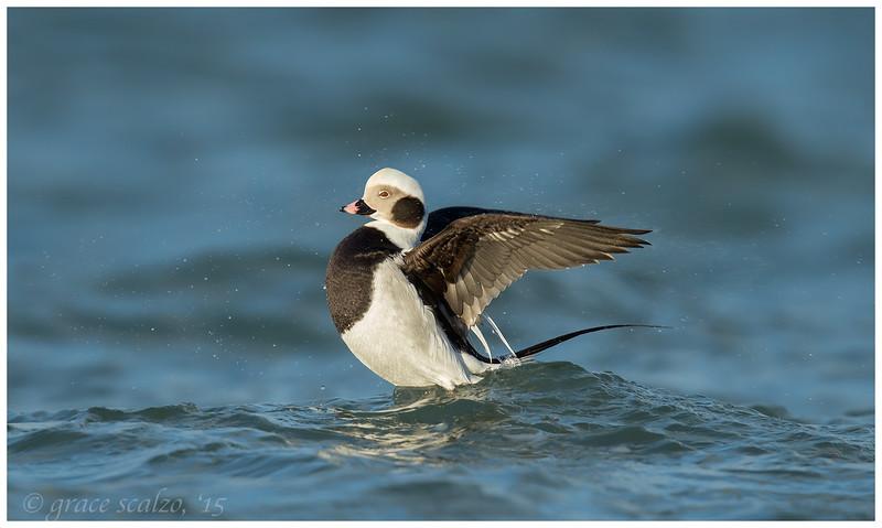 Long-tailed Duck, Long Island, NY