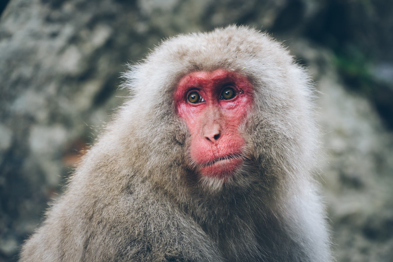snow-monkeys-japan-8.jpg