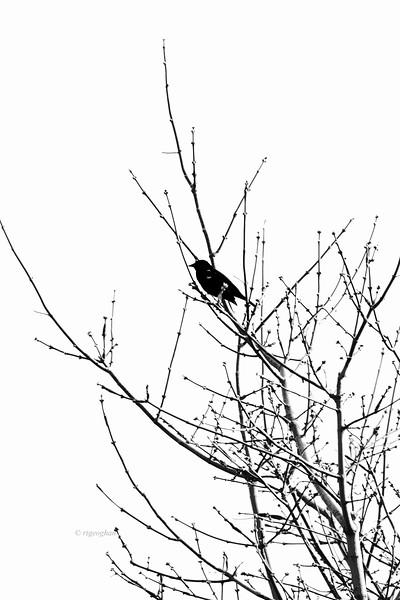 Spring Tree and Blackbird silhouette
