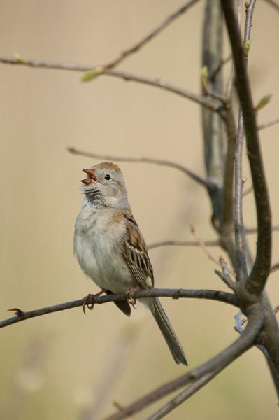 Field Sparrow (Gray) D1923