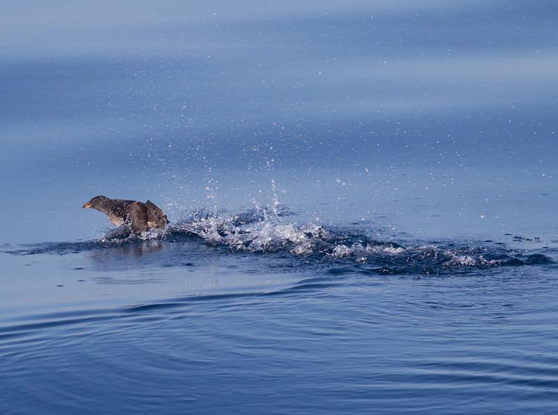 Rhinoserous Auklet   Orange County Waters  2014 01 11-1667.CR2