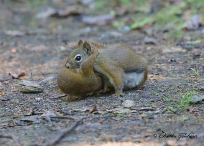 Red Squirrel in Alaska