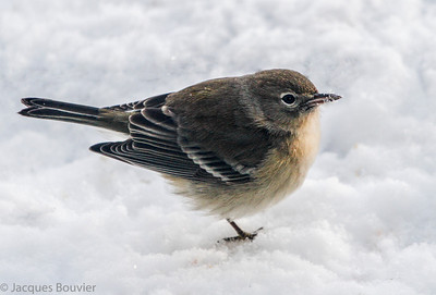 Songbirds 3 (Warblers and Vireos) - Les oiseaux chanteurs 3 (Parulines et viréos)