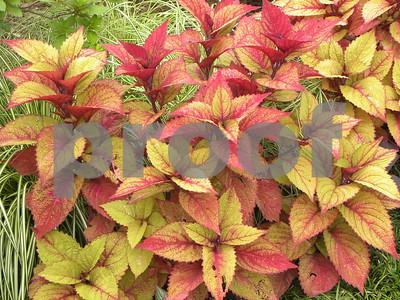 coleus-putting-on-the-heat-in-idea-garden