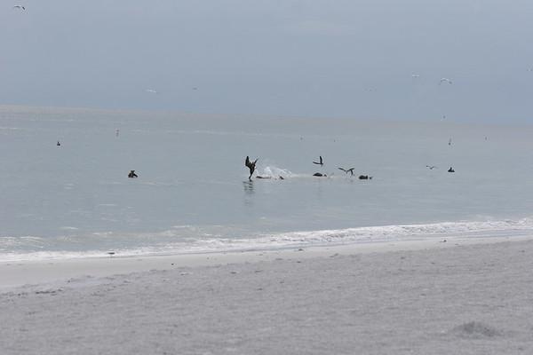Beach 2006 Pelicans