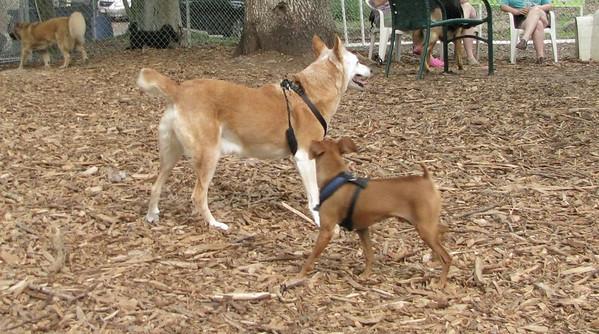 Foxy (new), Paco (minpin)
