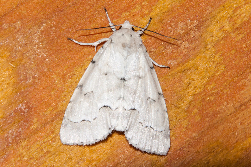 Dagger-Unmarked-(Acronicta innotata)- Dunning Lake - Itasca County, MN