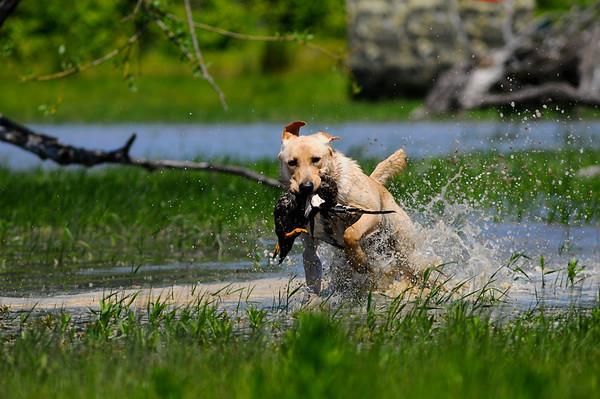 Hunting Retrievers