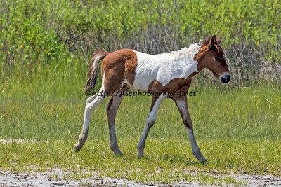 Milly Sue's Colt